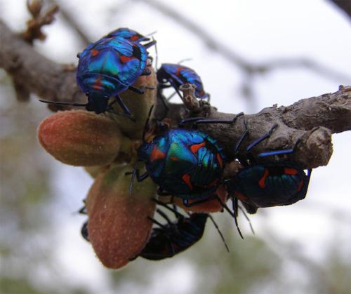 Rainbowbeetles