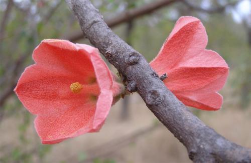 Kurrajongflowers