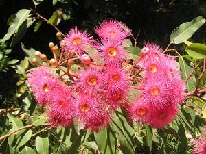 Floweringgum
