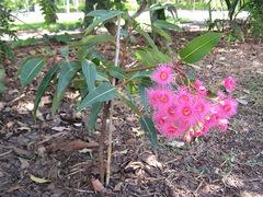 Floweringgum1