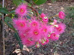 Floweringgum2_1