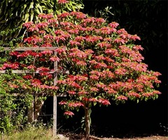 The otehr neighbour's Poinsettia